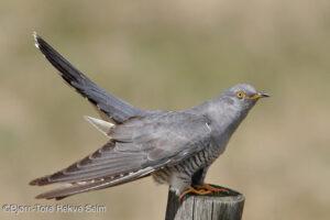 The cuckoo bird.